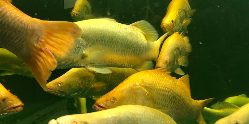 Mainstream established a breeding population of Golden Barramundi