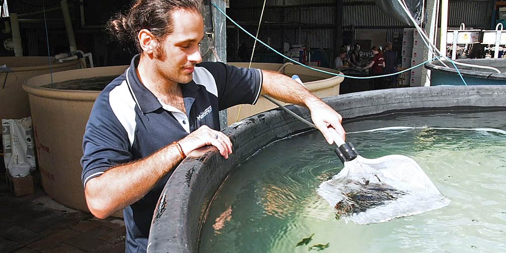 Man scooping baby fish out of tank